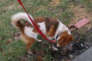 Sometimes something as simple as pottying a dog outside can be a training problem to solve.